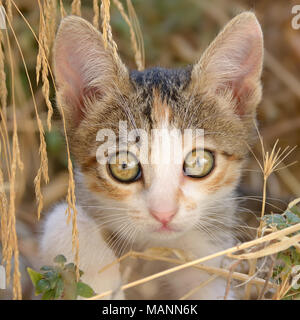 Cute nosy cat kitten, patched tabby and white fur, sitting among withered grass, a close-up portrait with beautiful big eyes, Greece, Europe - Stock Photo