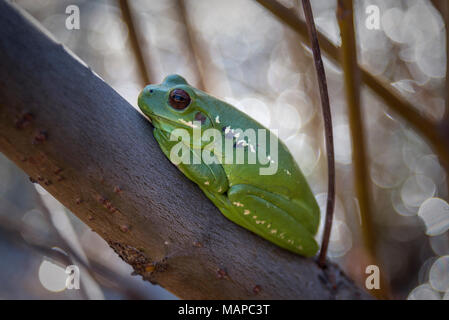 green frog perching on a branch in the forest - Stock Photo