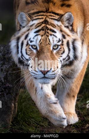 Male Amur tiger walking towards camera - Stock Photo
