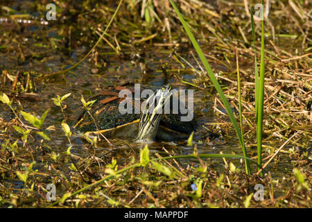 Turtle, Ritch Grissom Memorial Wetlands at Viera, Florida - Stock Photo