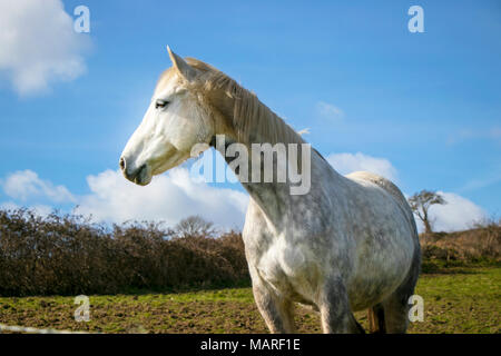 Portrait of beautiful white horse standing in green hillside against blue sky with trees in the background - Stock Photo