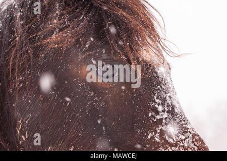 Closeup of a dark bay Arabian horse in heavy snowfall - Stock Photo