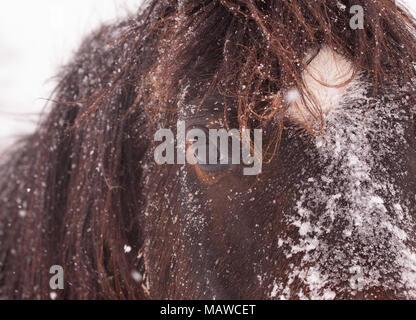 Closeup of a dark bay horse's face in a heavy snowfall - Stock Photo