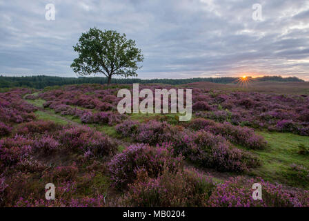A lone pine tree at Hallickshole Hill in the New Forest. - Stock Photo