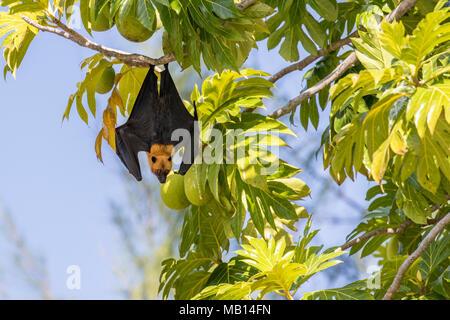 Seychelles fruit Bat, otherwise known as Seychelles Flying Fox (Pteropus seychellensis), in tree, Silhouette Island, Seychelles - Stock Photo