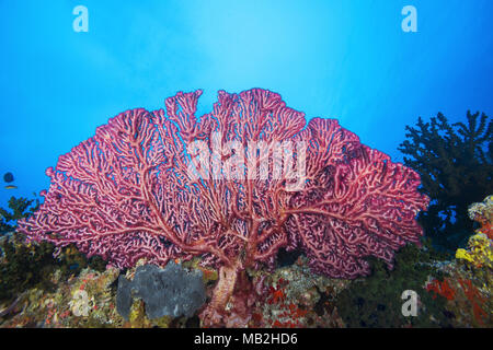 Cherry Blossom Coral or Godeffroy's Soft Coral (Siphonogorgia godeffroyi) - Stock Photo