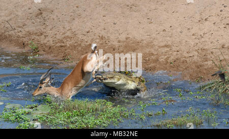 Nile crocodile (Crocodylus niloticus) attacking by surprise a male impala (Aepyceros melampus) drinking water, fatal attack - Stock Photo