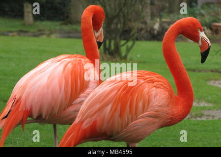 A pair of brightly coloured flamingos, whose orange plumage is very striking against the fresh green grass of spring time - Stock Photo