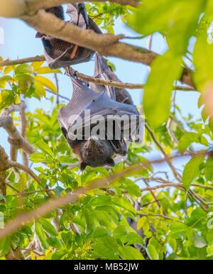 Black Flying Fox Camp, Brisbane, Queensland, Australia - Stock Photo