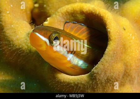 Bluestriped fangblenny or Tube-worm blenny (Plagiotremus rhinorhynchos), Maldives, Indian ocean, Asia - Stock Photo