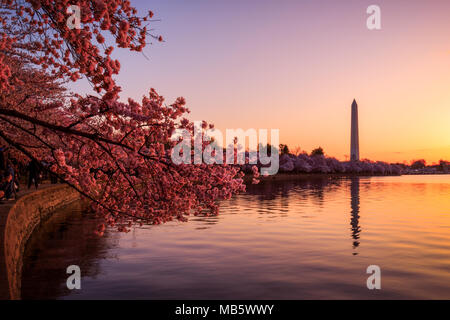 Sunrise at the tidal basin during the cherry blossom bloom - Stock Photo