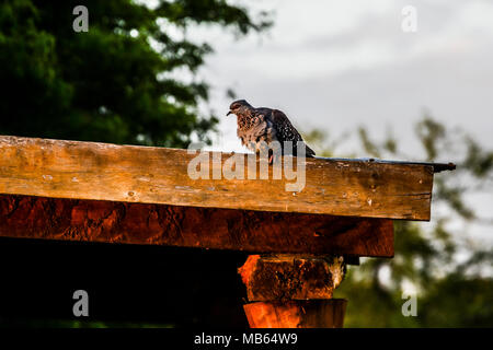 A speckled pigeon (Columba guinea) perching on a roof - Stock Photo