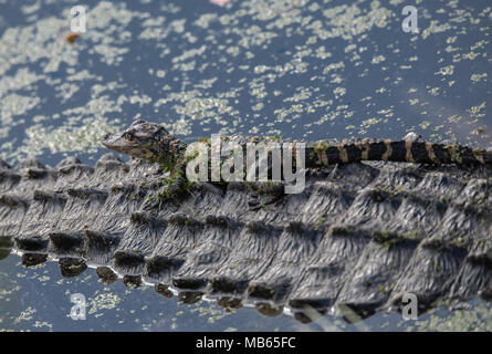 Young Alligator - Stock Photo