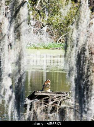 Alligator in the Window - Stock Photo