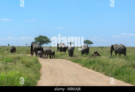 A herd of African elephants crossing the dirt road in the Serengeti - Stock Photo