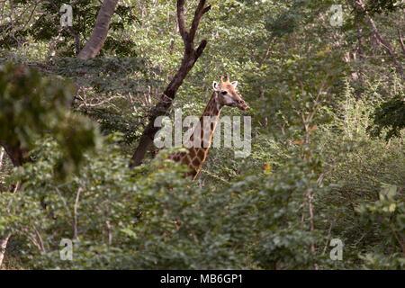 Giraffe in the bush at Hwange National Park in Zimbabwe. - Stock Photo