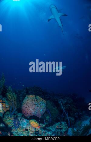 Reef Shark Bahamas - Stock Photo