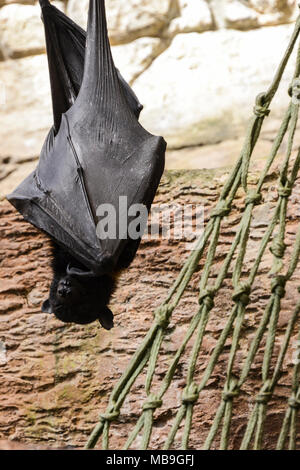 A  large flying fox (Pteropus vampyrus) hanging upside down in Cango Wildlife Ranch, South Africa - Stock Photo