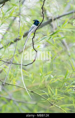 The Indian paradise flycatcher (Terpsiphone paradisi) inside Tadoba Andhari Tiger Reserve in Maharashtra, India - Stock Photo