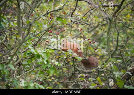 Eurasian Red Squirrel in a tree eating in Fort Victoria Country Park on the Isle of Wight - Stock Photo