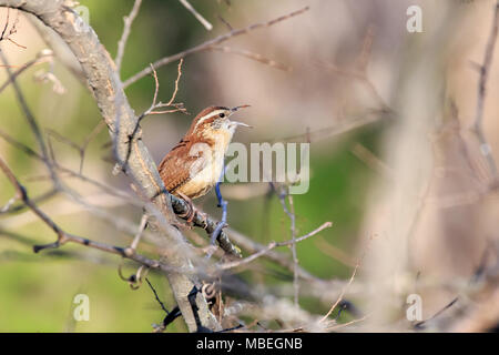 A little Carolina Wren (Thryothorus ludovicianus) perched in a bare tree during the winter. - Stock Photo
