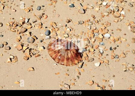 Compass Jellyfish on a sandy beach with pebbles - Stock Photo
