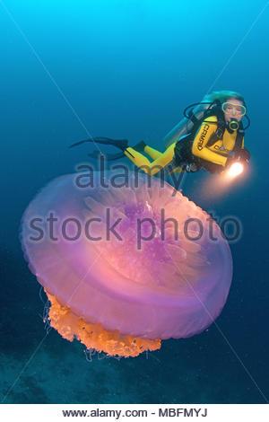 Scuba diver and Cauliflower jellyfish or Barrel jellyfish (Netrostoma setouchina), Andaman sea,Thailand - Stock Photo