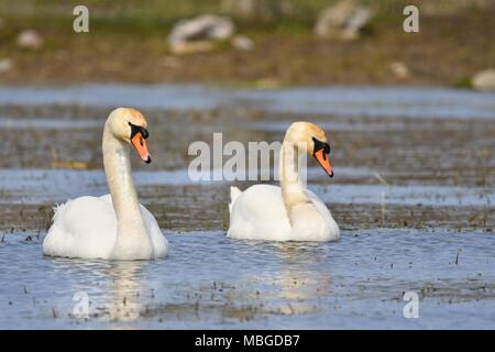 Two beautiful swans on danish lake - Stock Photo