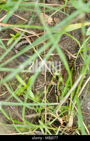 Green-striped frog Cyclorana alboguttata hiding in the grass, Townsville Town Common Conservation Park, Pallarenda, QLD, Australia - Stock Photo