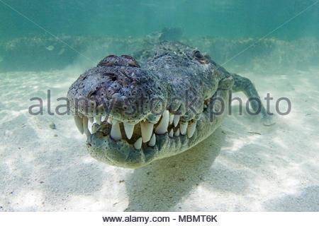 American crocodile (Crocodylus acutus), Banco Chinchorro, Quintana Roo, Mexico - Stock Photo