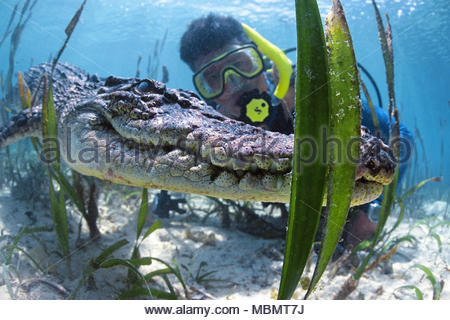 Scuba diver and Saltwater crocodile (Crocodylus porosus), largest of all living reptiles, Palau, Micronesia - Stock Photo