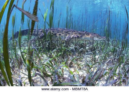 Saltwater crocodile (Crocodylus porosus), largest of all living reptiles, Palau, Micronesia - Stock Photo