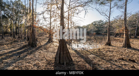 Cypress tree marsh prairie at Indian Lake, Silver River Springs Forest - Stock Photo