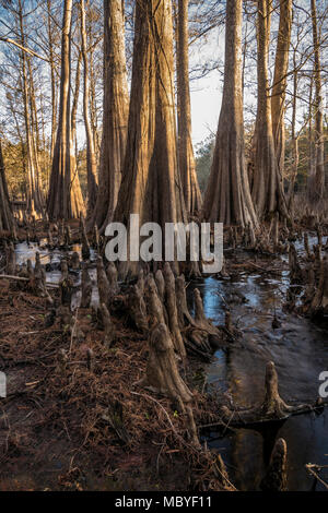 Cypress trees and slough at Indian Lake, Silver River Springs Forest - Stock Photo
