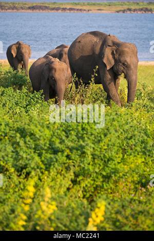 Vertical view of wild elephants at Minneriya National Park in Sri Lanka. - Stock Photo