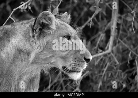 Black and white lion portrait - Stock Photo