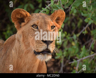 Young lion portrait - Stock Photo