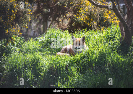 The Red Fox (Vulpes Vulpes) is the largest of the true foxes.  This vixen was seen resting at the British Wildlife Centre, Surrey, England - Stock Photo