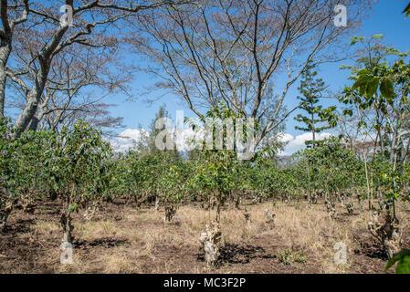 Coffe plantation, Geremiaka village, Eastern Highlands Province, Papua New Guinea - Stock Photo