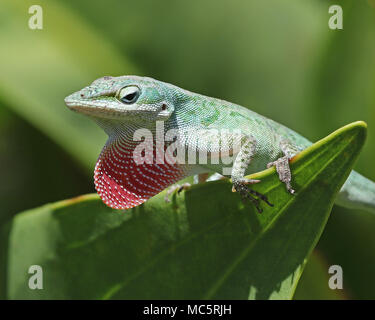 Closeup of an American green anole lizard (Anolis Carolinensis) with bright pink dewlap extended. - Stock Photo