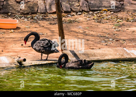 A black couple swan playing at water at zoo. - Stock Photo
