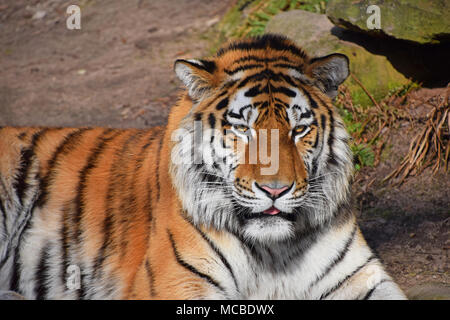 Close up front portrait of one young Siberian tiger (Amur tiger, Panthera tigris altaica) looking at camera, high angle view - Stock Photo