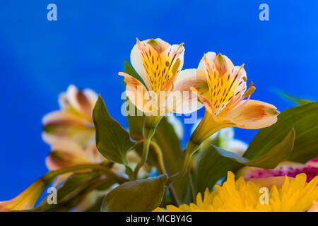 Closeup of yellow Alstroemerias flowers commonly know as Peruvian Lilies or Lily of the Incas against a blue background - Stock Photo