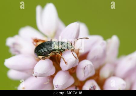 Green leaf beetle, Phyllobius sp, and  pink snakeroot, Bistorta officinalis - Stock Photo
