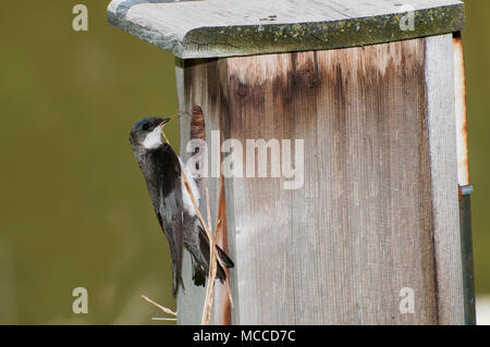 Little Canada, Minnesota. Gervais Park. Female Tree Swallow, Tachycineta bicolor, bringing nesting material to build a nest in the nesting box. - Stock Photo