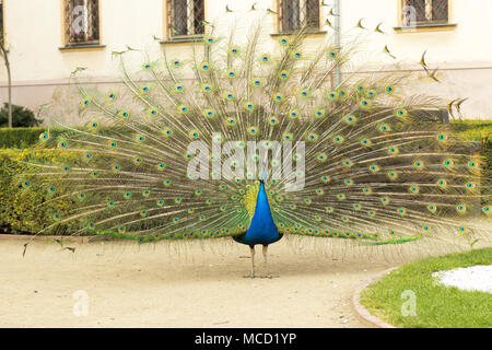 Beautiful colorful peacock with fully opened tail walks on the sand lane in the garden during spring day. - Stock Photo