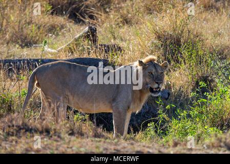 MALE LION (PANTHERA LEO), SERENGETI NATIONAL PARK, TANZANIA - Stock Photo