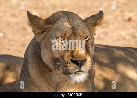 FEMALE LION (PANTHERA LEO) RESTING IN THE SHADE, SERENGETI NATIONAL PARK, TANZANIA - Stock Photo