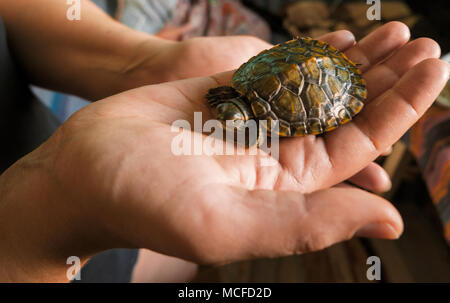Baby turtle in a hand. Small turtles, pet in the hands of girls - Stock Photo