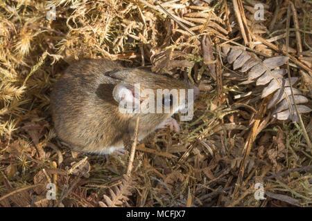 Close-up of wild wood mouse (Apodemus sylvaticus) in Surrey, UK - Stock Photo